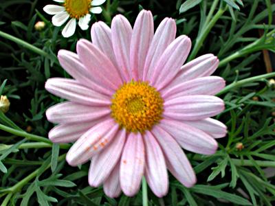 daisy-pink6