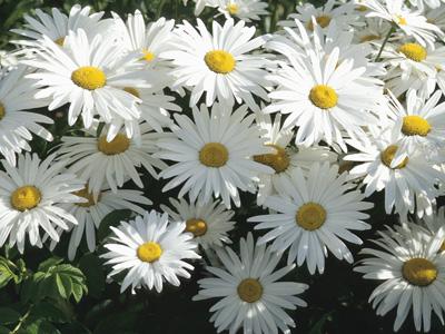 daisy-white7