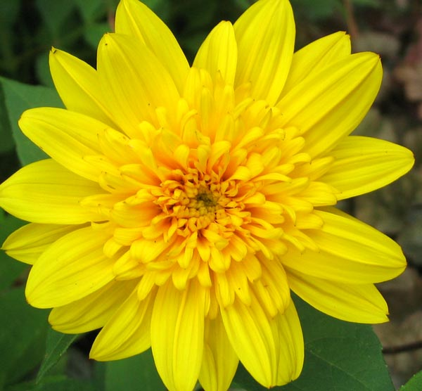 daisy-yellow8