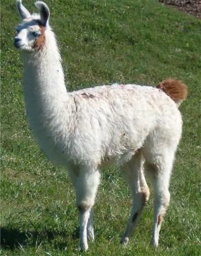 llama image 01