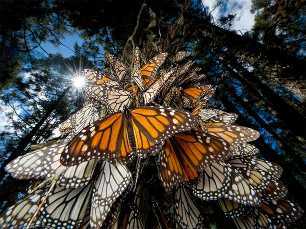 monarch-butterflies-mexico_picture7