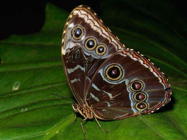 morpho-laman Butterfly tattoo5