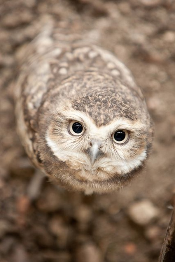 owl-pictures-5