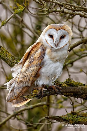 owl pictures2