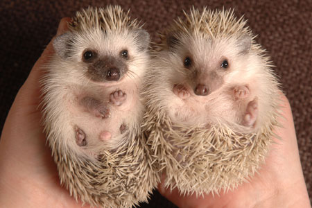 pictures of hedgehogs1