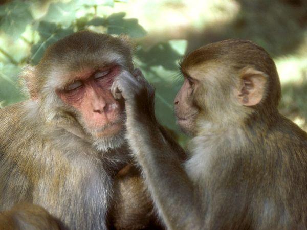 rhesus-monkey7