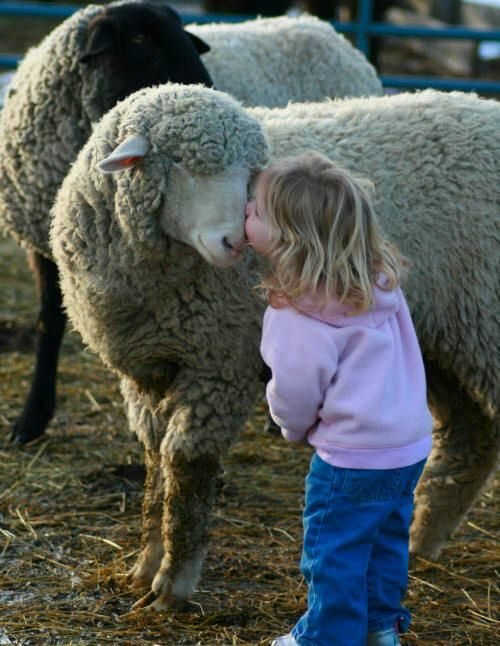 Sheep Pictures That You Love Forever Ever