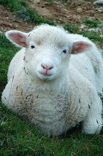 sheep pictures 4