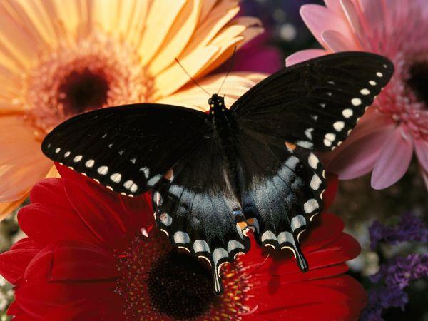 swallowtail-murawski_Butterfly tattoo6