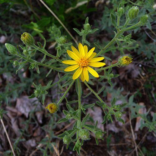 wild_daisy13