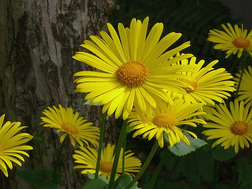 yellow daisy flowers pic10