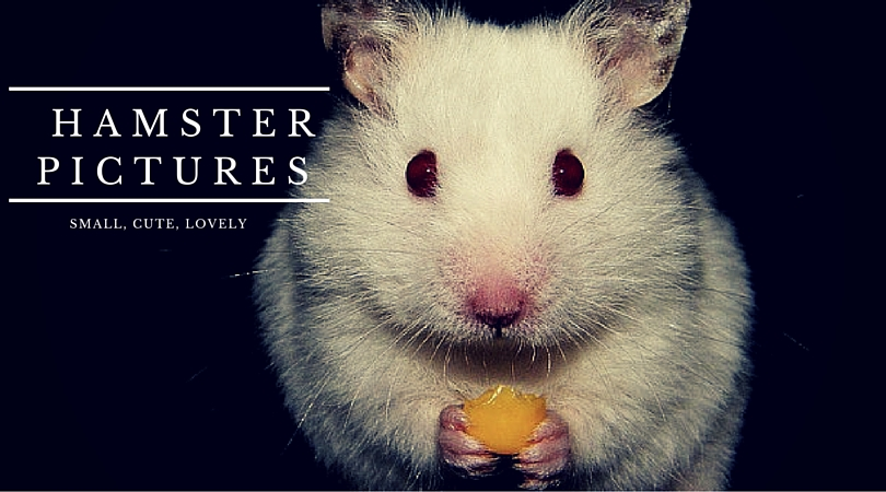 37 Small, Cute And Lovely Pictures Of Hamsters