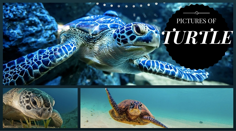 Pictures of Turtle
