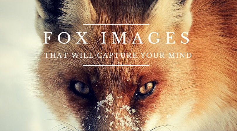 25 Clever Fox Images that will capture your mind