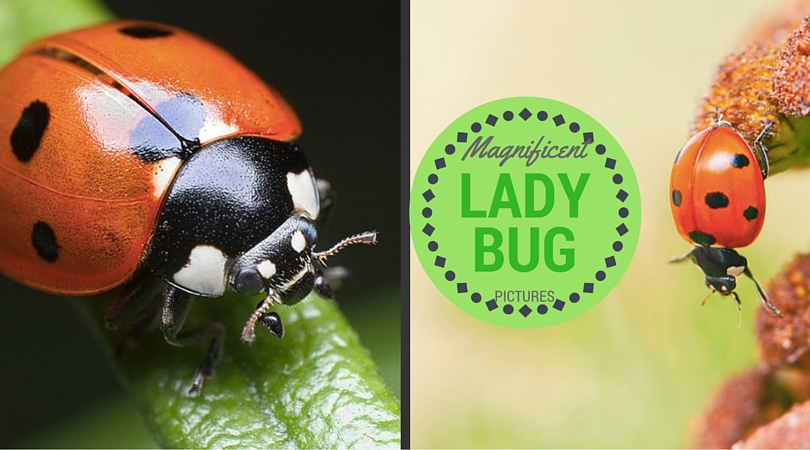 27 Magnificent Lady bug Pictures